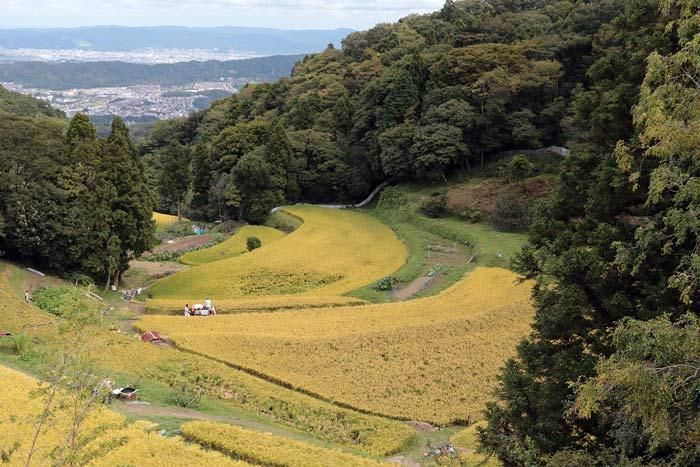 生駒山 暗峠の稲田1