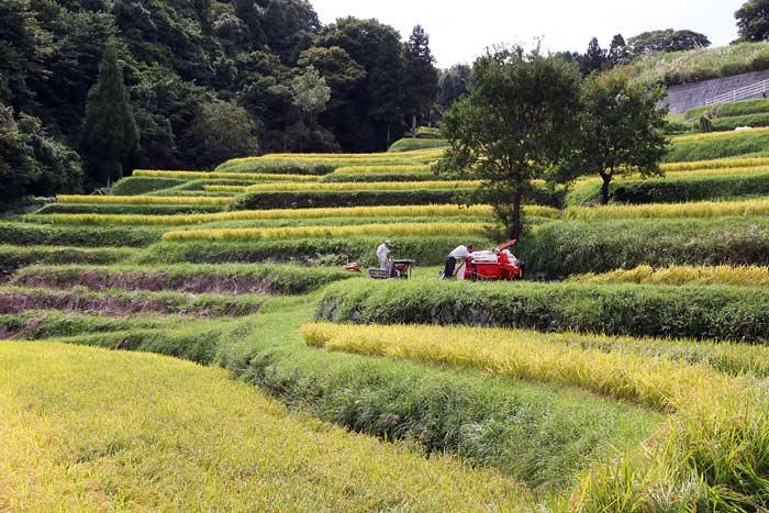 生駒山 暗峠の稲田2