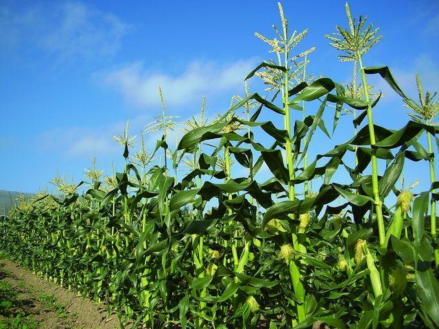 031deb50トウモロコシ畑
