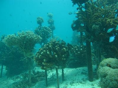 珊瑚の養殖エリア