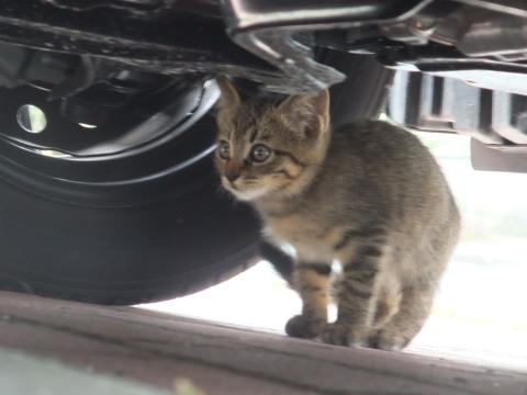 子猫 キジ 2