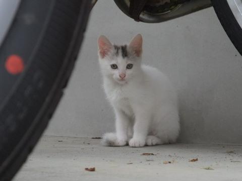 子猫 白 2