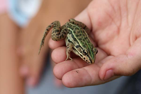 9月の殿様蛙