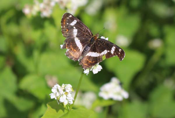 ソバの花にサカハチチョウ1
