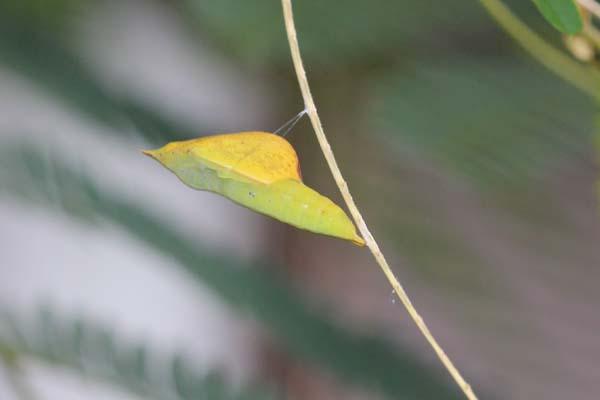 キチョウ蛹