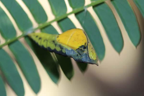 キチョウ蛹2
