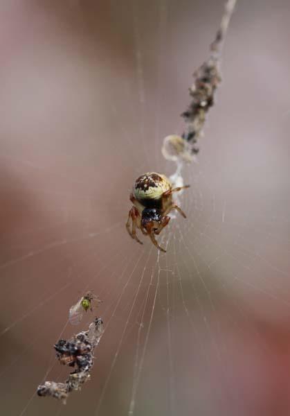 マルゴミグモ