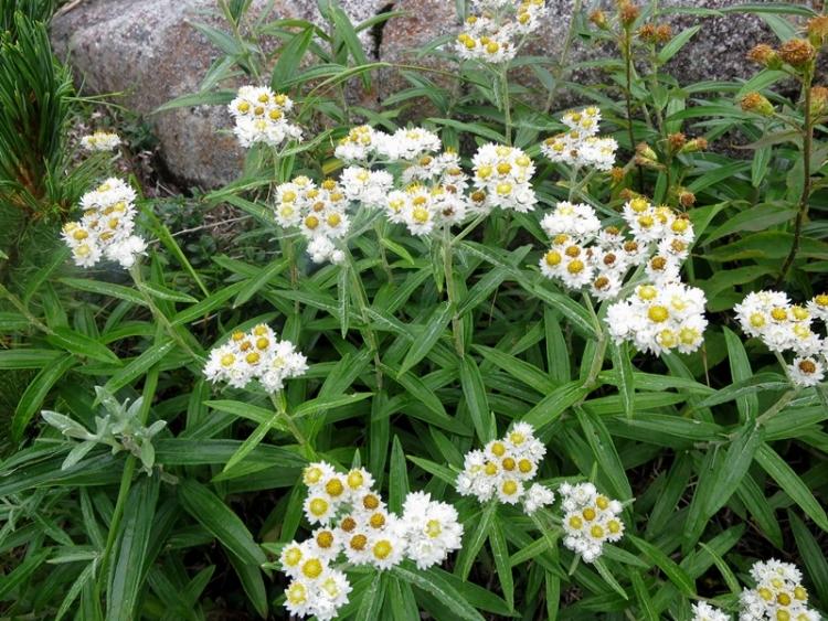 木曽駒の花12150824