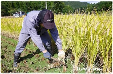 稲刈り2015⑧