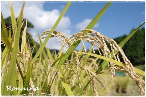 稲刈り2015⑥
