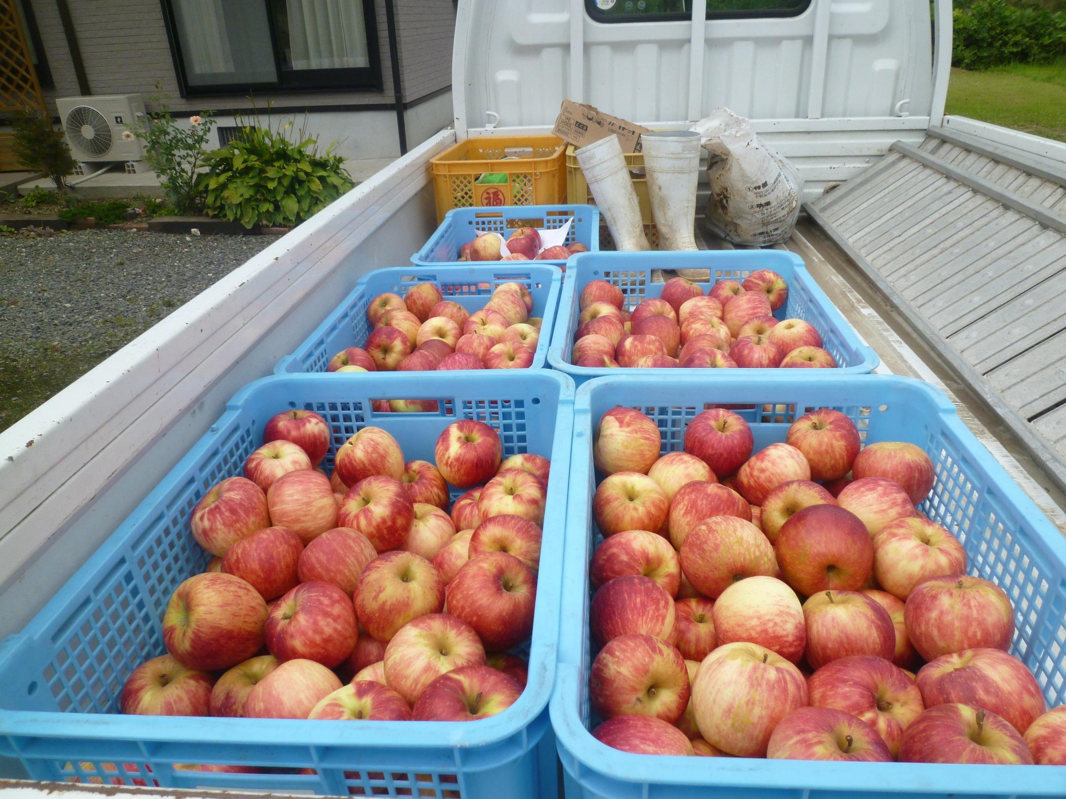 リンゴが豊作です!!