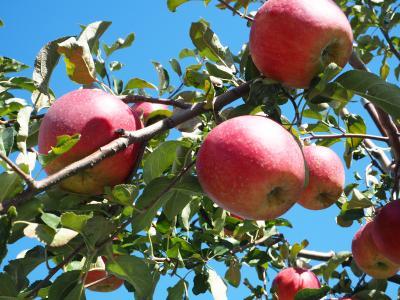リンゴ狩り2