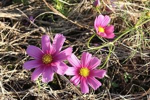コスモスが咲いていた3