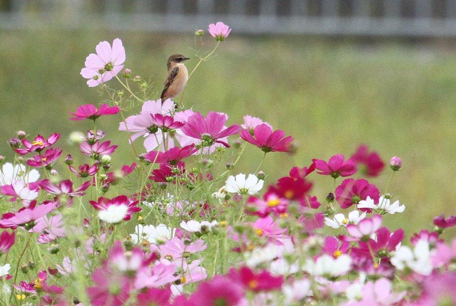 ノビタキ2015-10-6-17-t高槻市-三島江IMG_0954