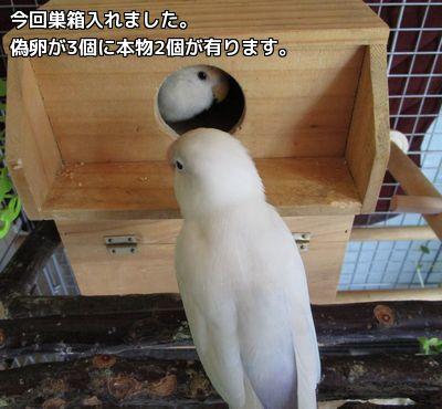 巣箱の中は偽卵