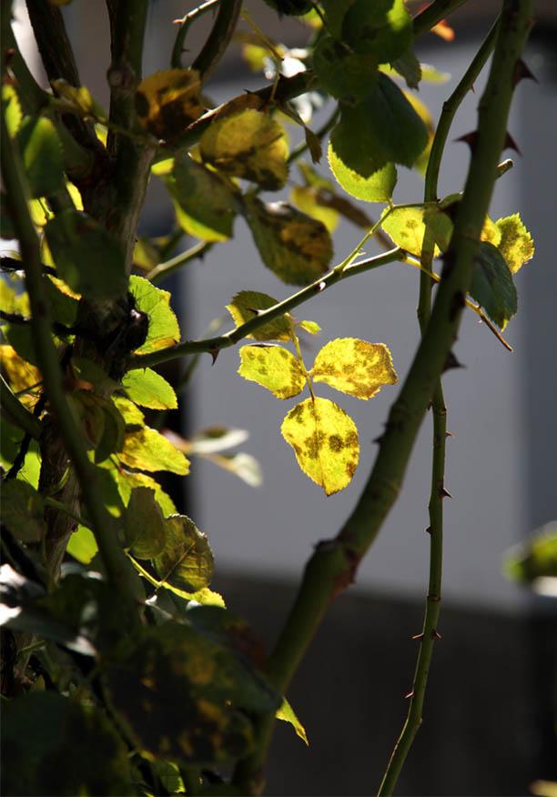 黄葉パラパラ(2)