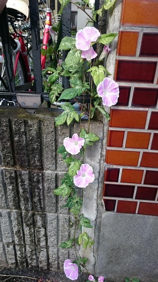アサガオ花