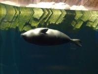 仙台うみの杜水族館14ゴマアザラシ