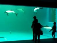 仙台うみの杜水族館15イロワケイルカ