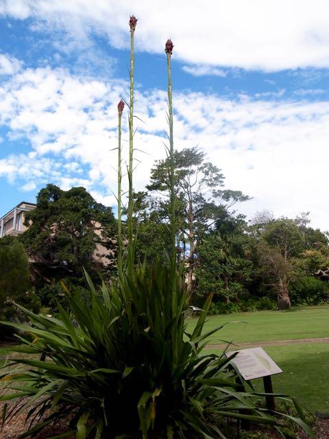 シドニー 王立植物園 - 1 (3)