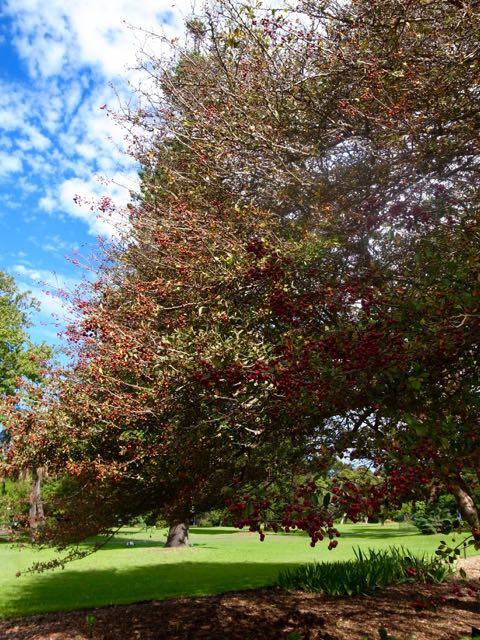 シドニー 王立植物園 - 1