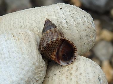 ヒメウズラタマキビ02