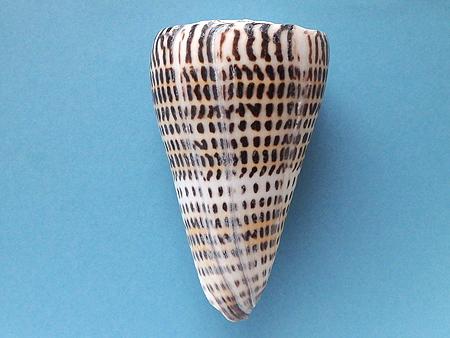 アンボンクロザメ-背面