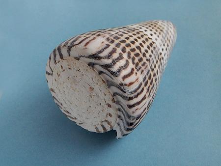 アンボンクロザメ-殻頂