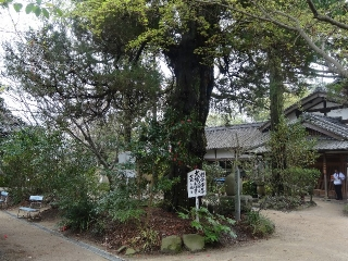 46浄瑠璃寺-霊木26