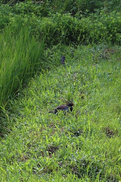 畦道で餌を探すキジ