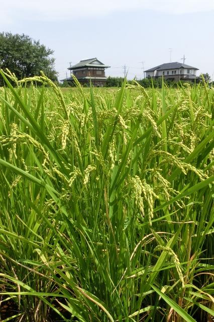 稲刈りま近かの水田