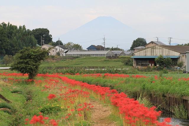 彼岸花と富士山