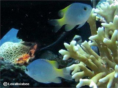 ダイバーと遊ぶサンゴ礁のデバスズメダイ