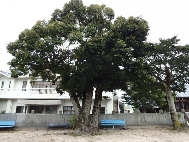 大きなシイノキ (スダジイ)
