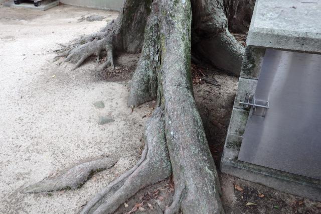 板根状に根が露出して発達