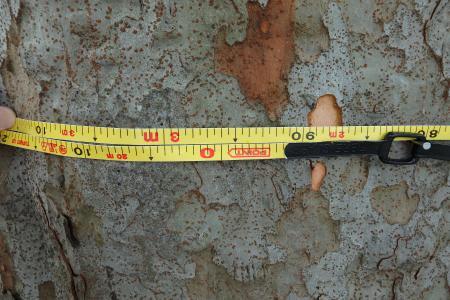 幹周は2m96センチ! 4センチ足りない。