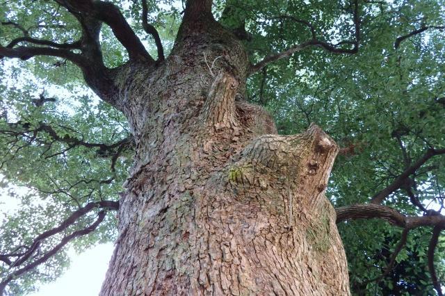 野辺の宮で一番大きな木