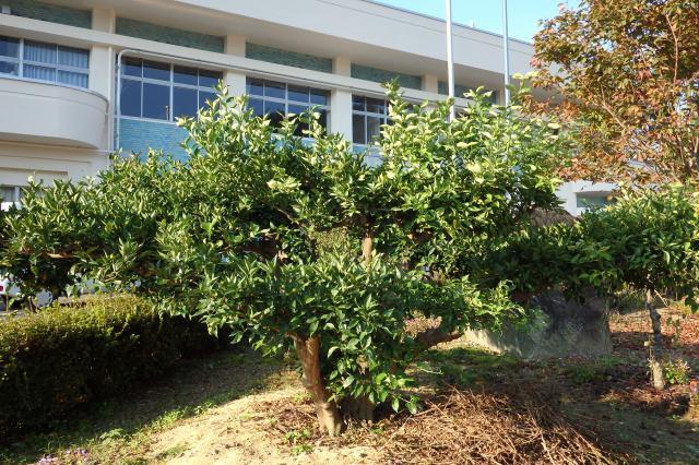 神山町役場の前庭のスダチ古木
