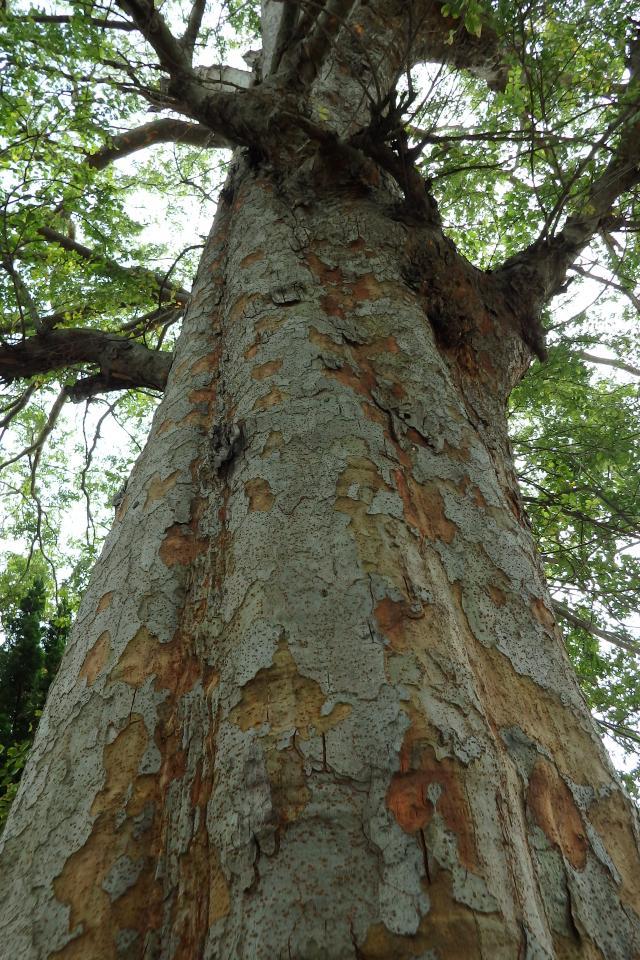 アキニレの巨木