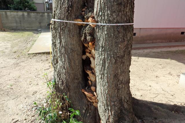 キノコが幹を浸潤している
