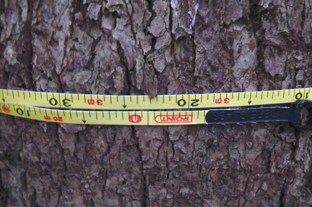 幹周は3m23センチ