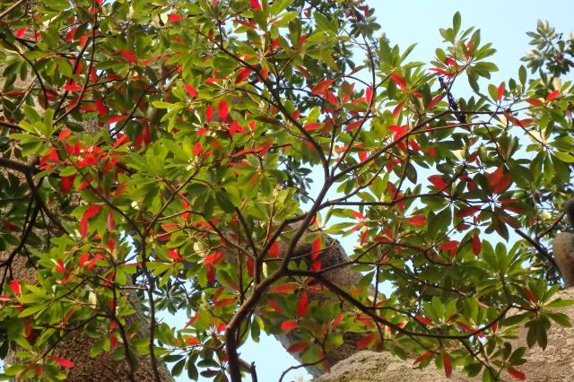 ホルトノキの紅葉