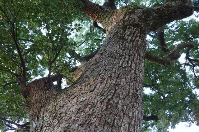 野辺の宮で二番目の木
