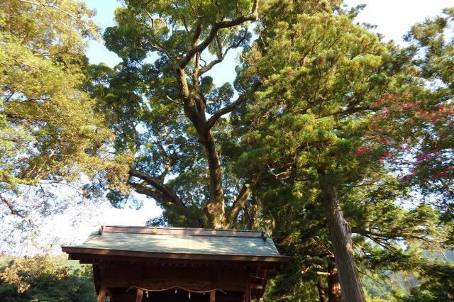 神門のはるか上に大枝を広げる