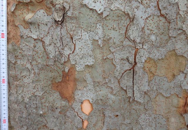 アキニレの大木の樹皮