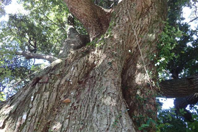 馬回地区入り口のシイノキ巨木