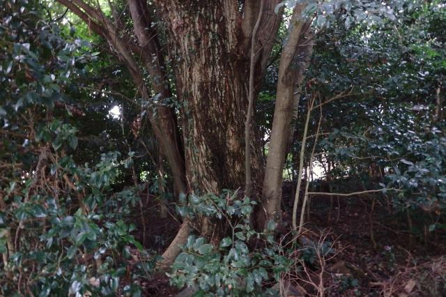 久度神社のシイノキ大木