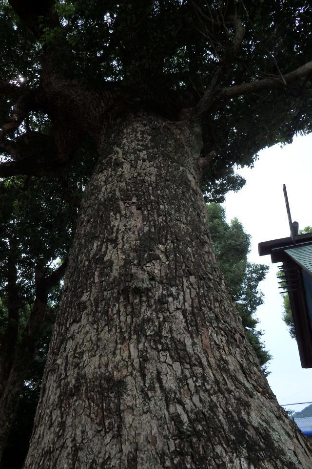 大炊神社で一番大きなクスノキ