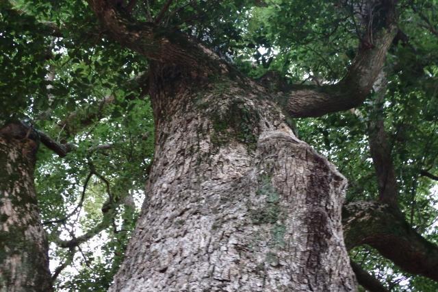 野辺の宮の巨木