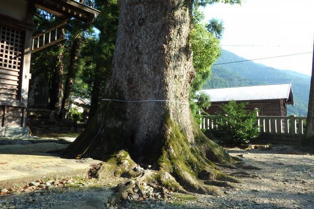 奥の方のクスノキ巨樹